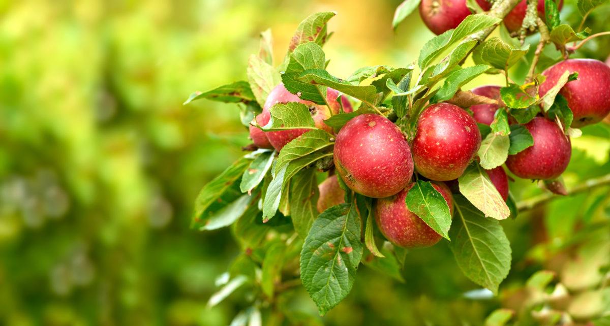 pomologiskt centrum äppel päppel