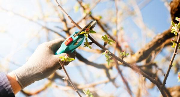 pomologiskt centrum utbildning att beskära äppelträd